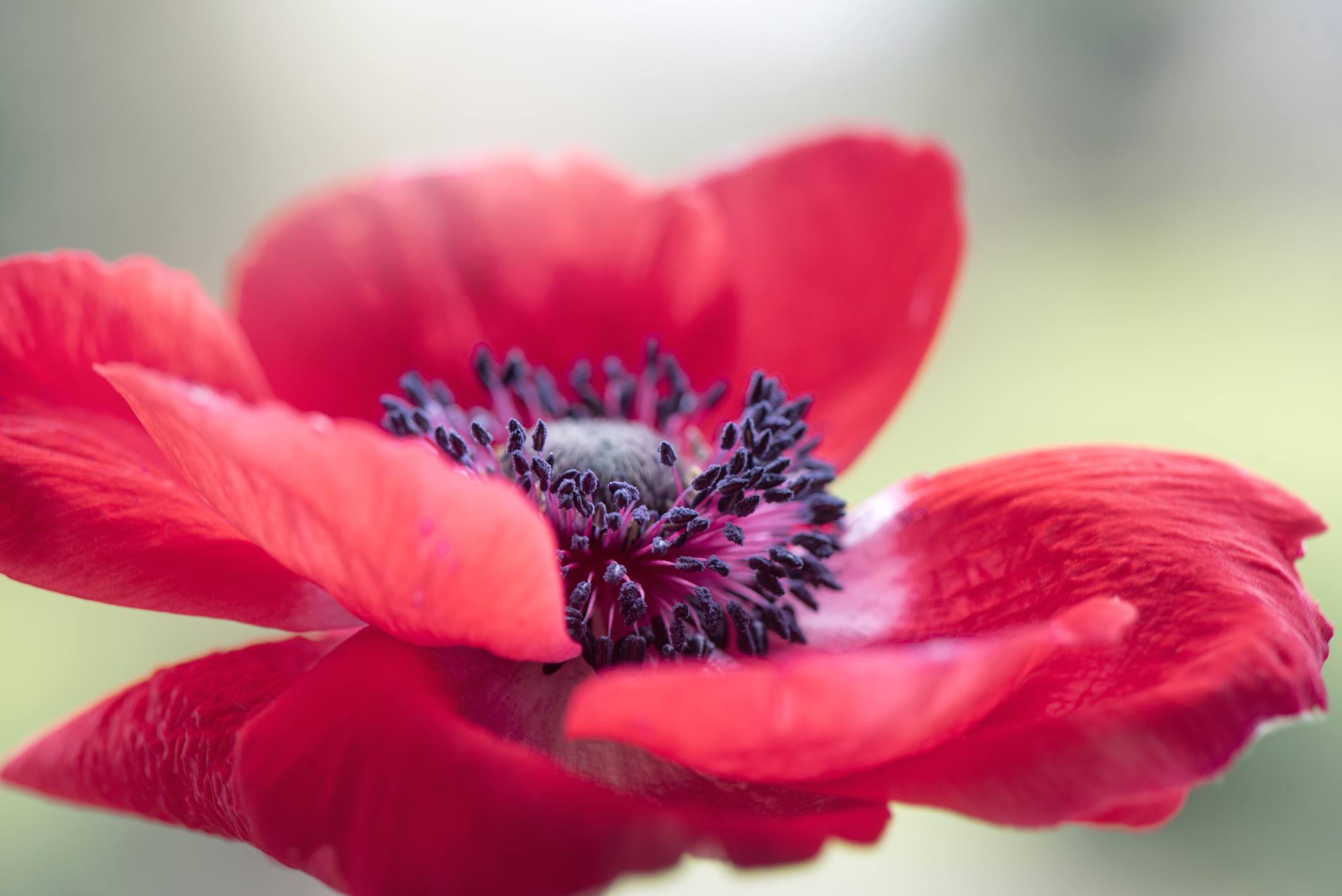Close up of an anemone flower