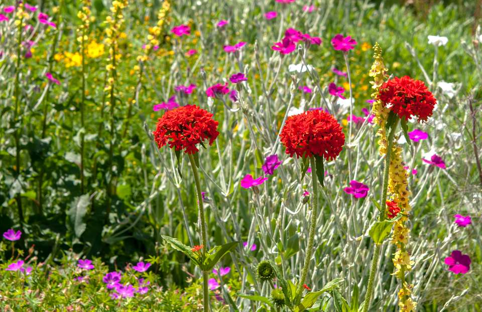 Maltese cross plants with bright red flowers on tall single stems in middle of wildflowers