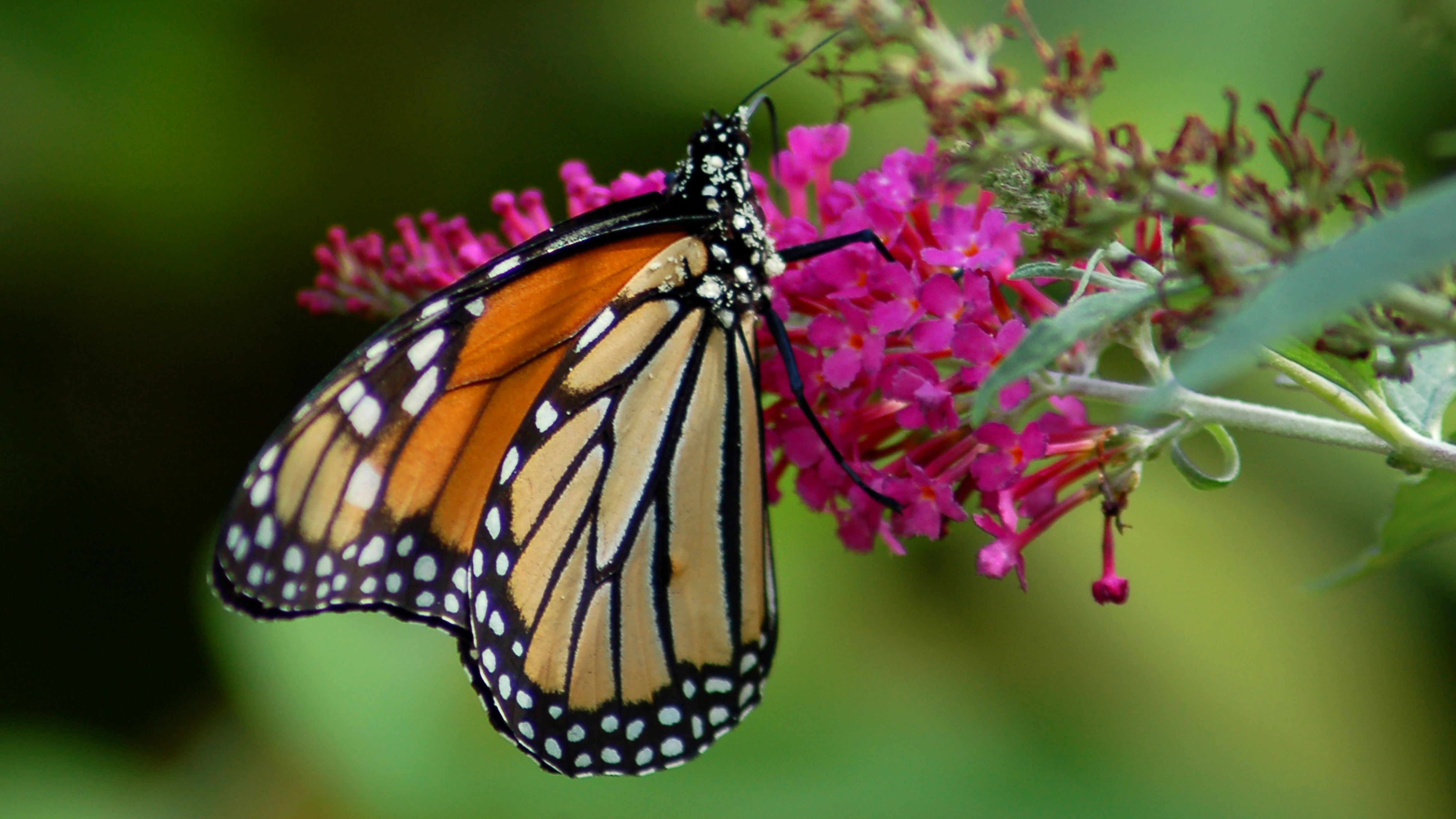 Butterfly Bush Plants Magnet For Swallowtails