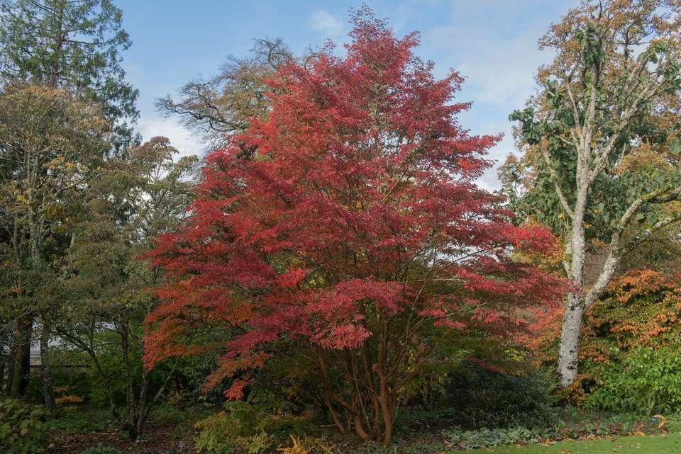 Japanese Stewartia tree