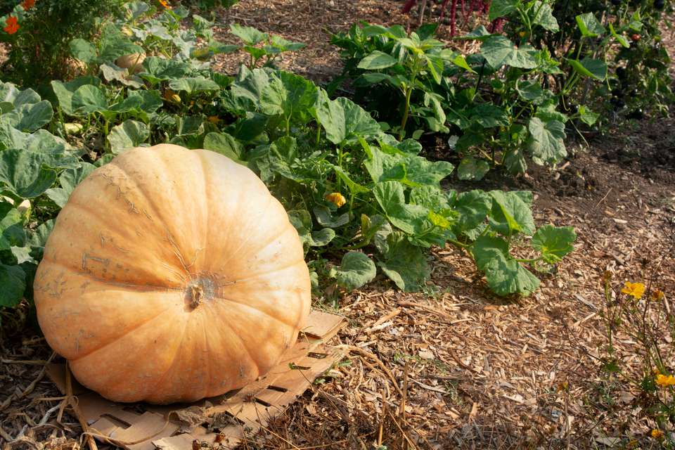 Big orange pumpkin laying on mulch next to patch vines with large leaves