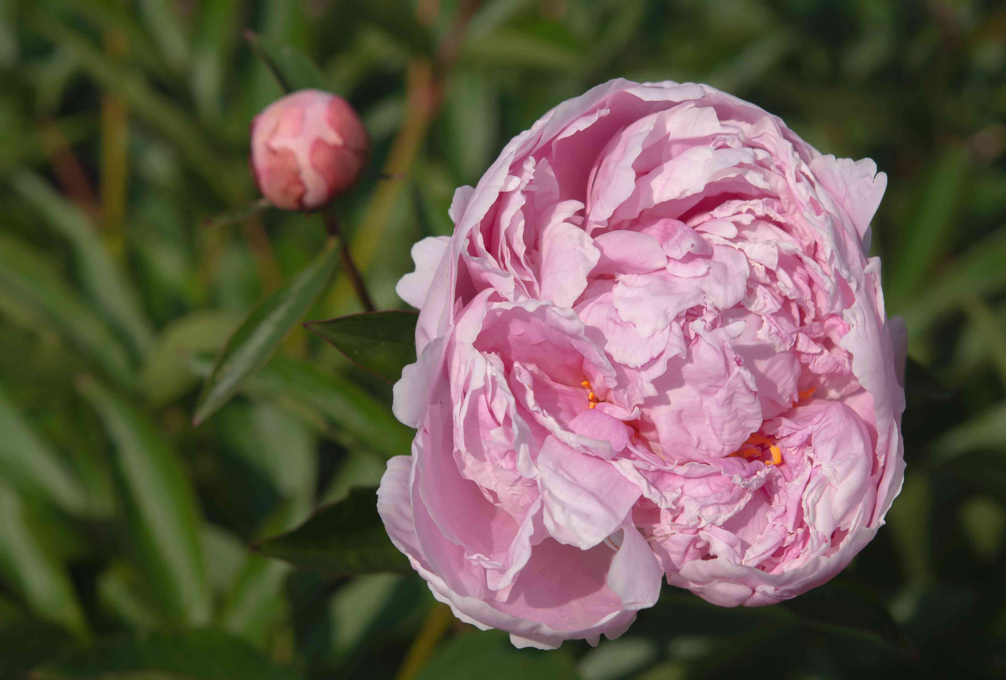 Sarah Bernhardt peony with rose-pink double flowers and bud on stem closeup