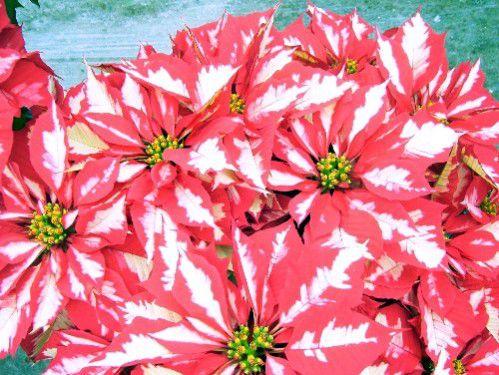 flor de pascua de poche de hielo