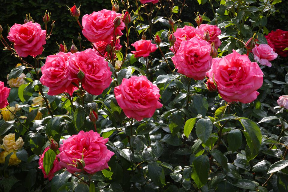 Sunshine falls on bed of roses, rosa 'Showtime'
