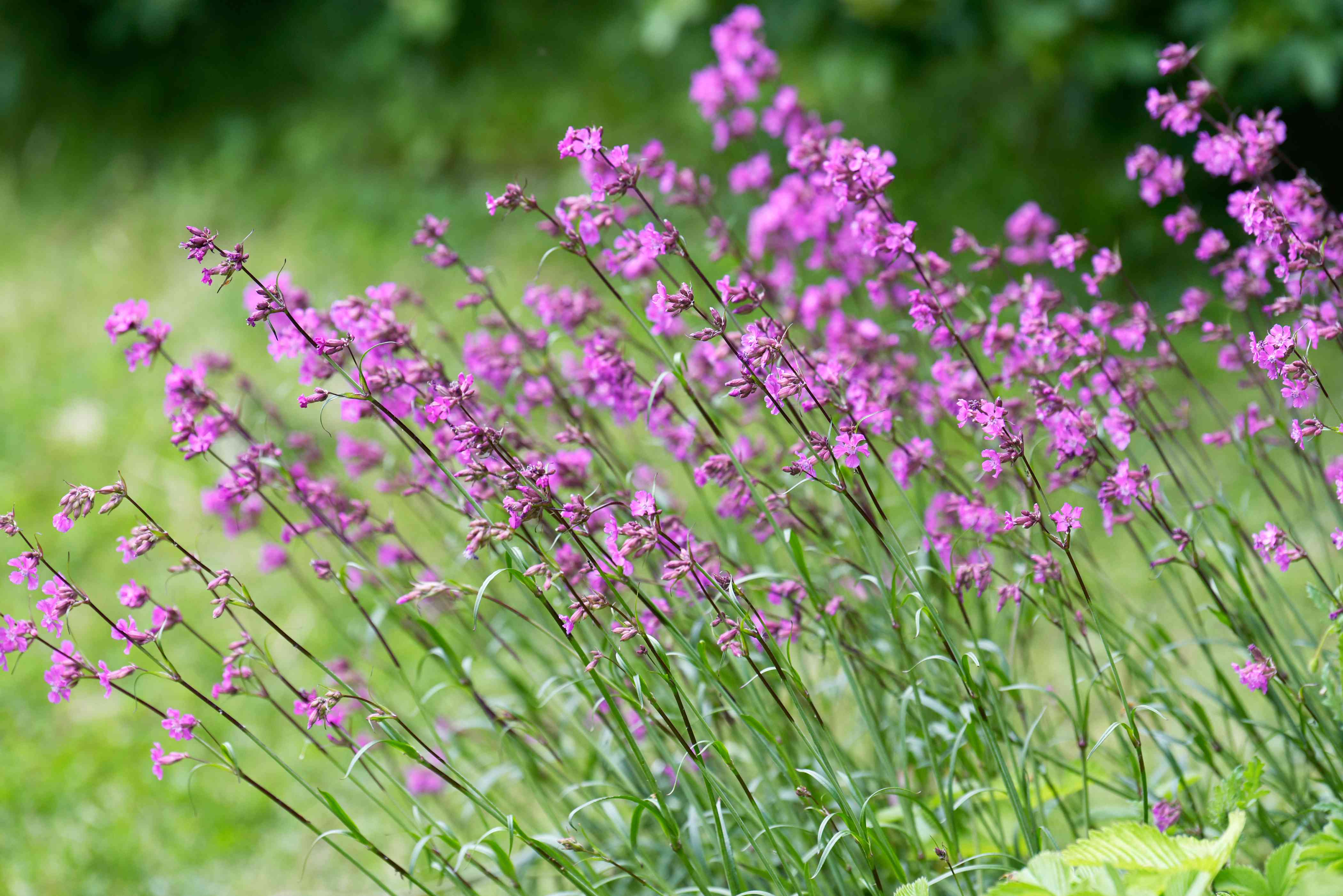 Silene viscaria plants with thin stems and small pink flowers on ends