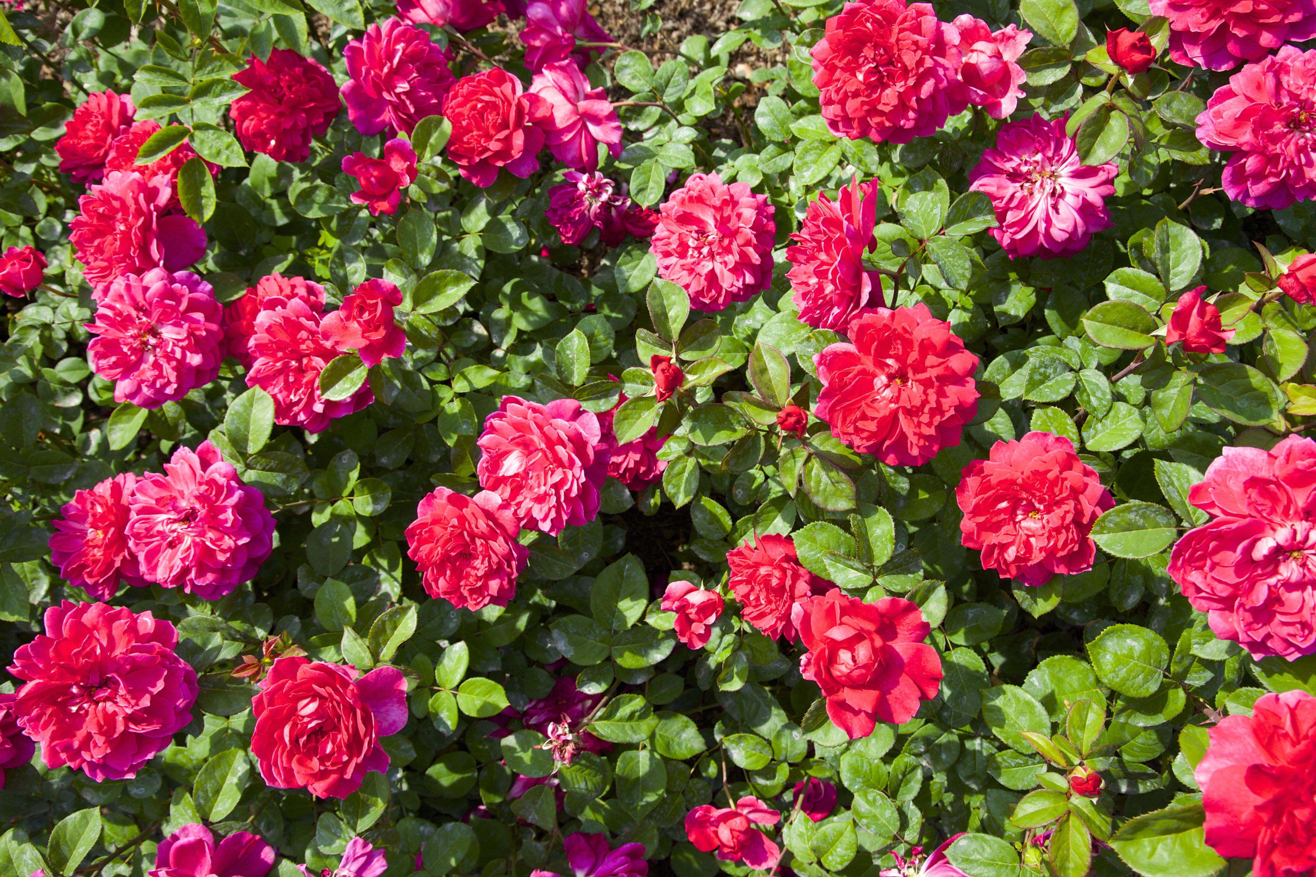 arbusto de rosa