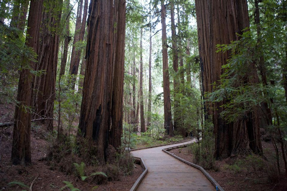 Boardwalk walkway through redwood forest
