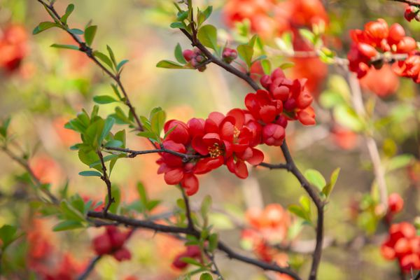 Flowering quince shrub with red flowers on branches