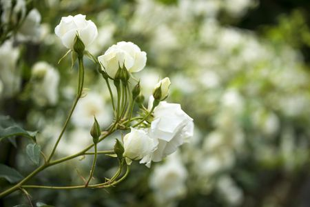 10 best shrubs with white flowers white roses growing on a bush mightylinksfo