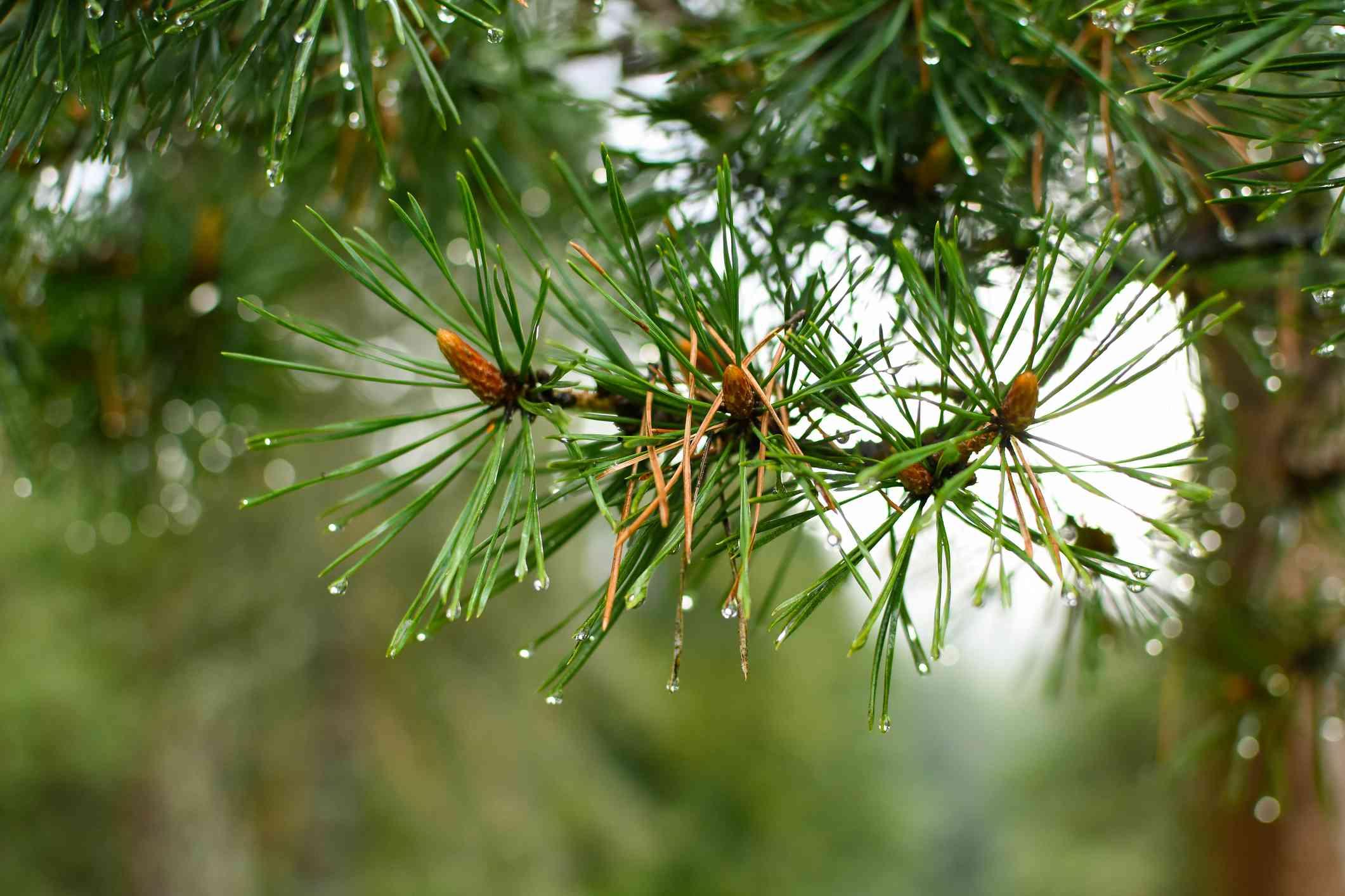 Close-up photo ofshortstraw pine (Pinus virginiana)