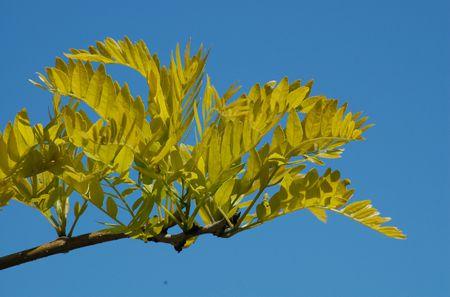 Taxonomy And Botany Of Sunburst Honey Locust Trees