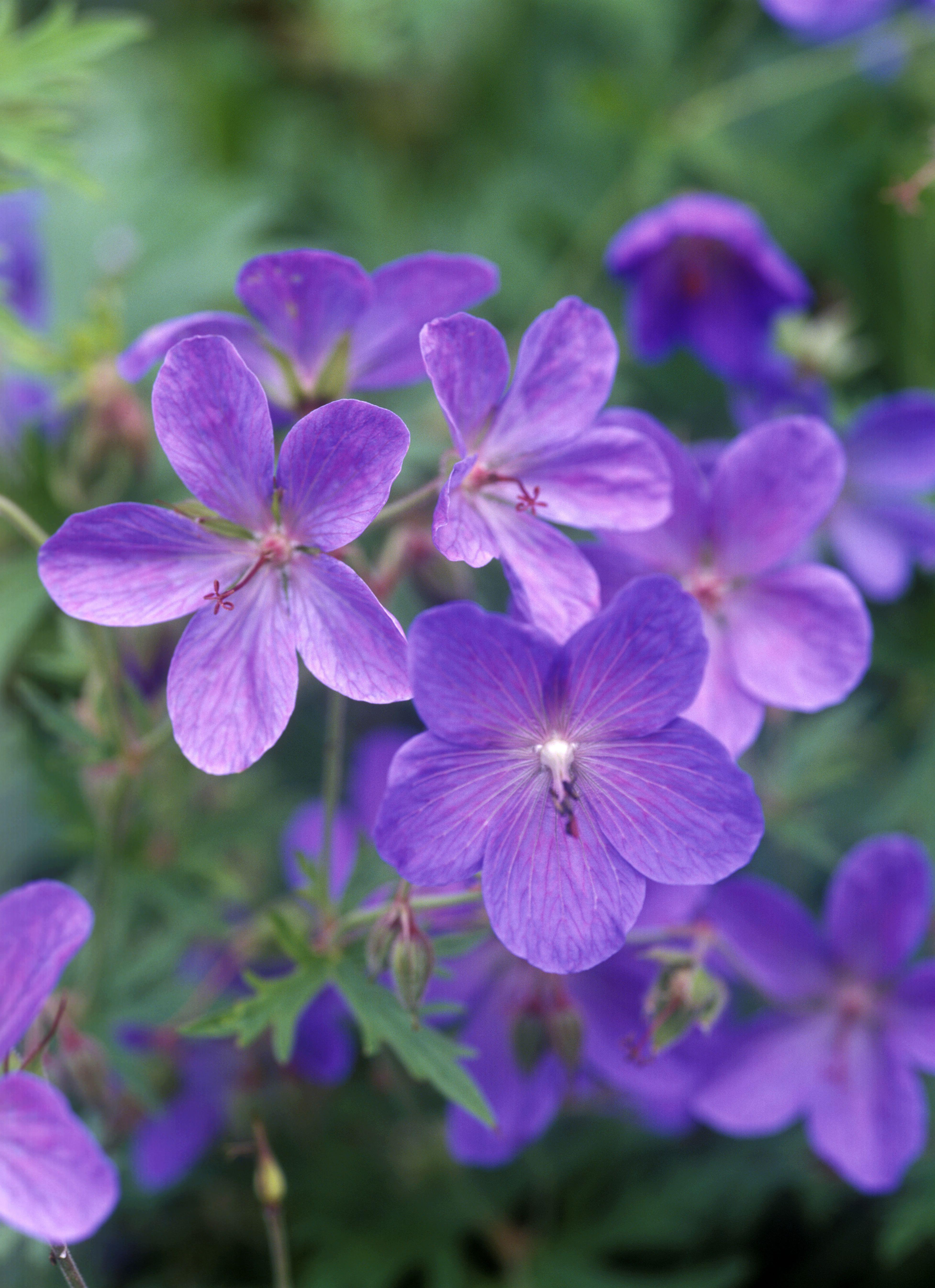 'Johnson's Blue' geraniums with purple flowers