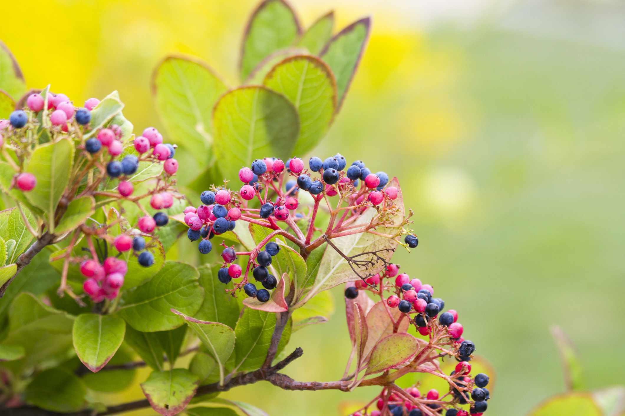 Colorful Pink And Purple Berries On Viburnum Nudum