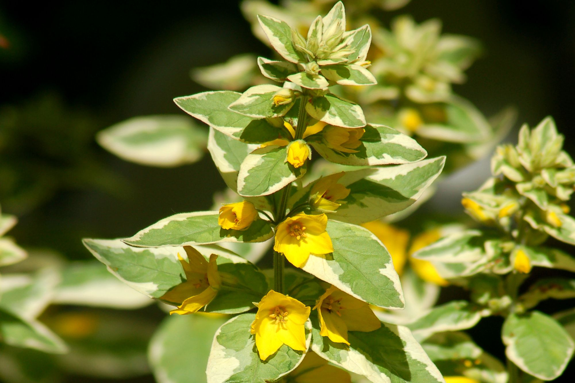 Ground Cover Variegated Leaves Yellow Flowers Round Designs