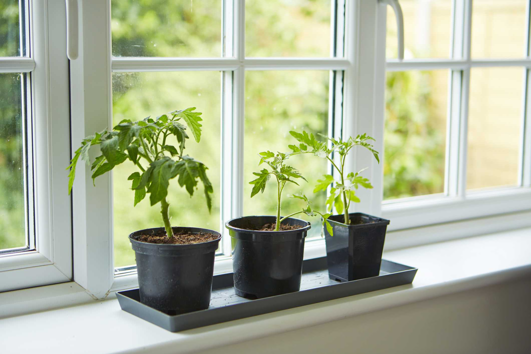 Tips For Growing Tomato Plants From Seed