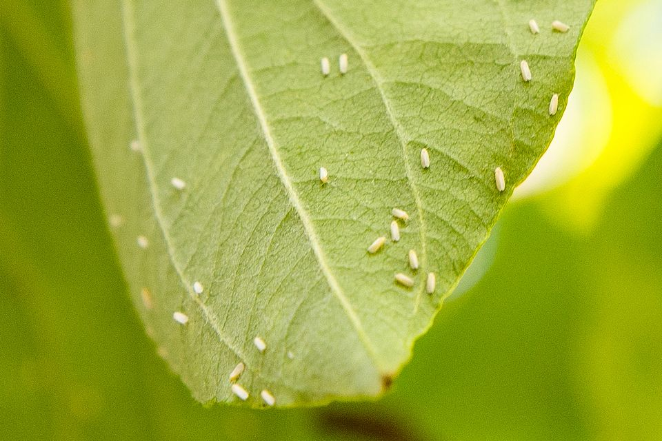 whiteflies on a leaf