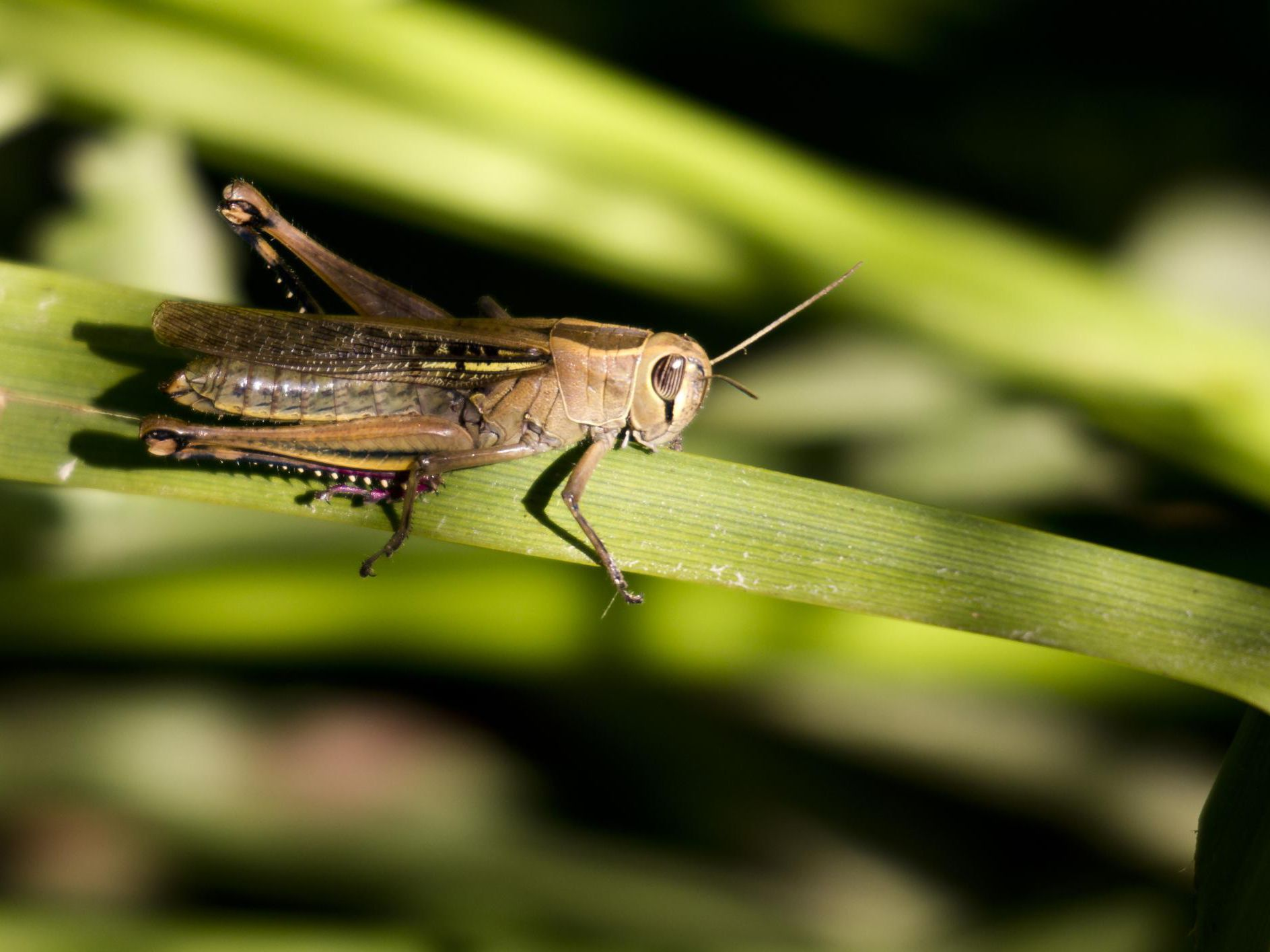 Control Grasshopper Garden Damage