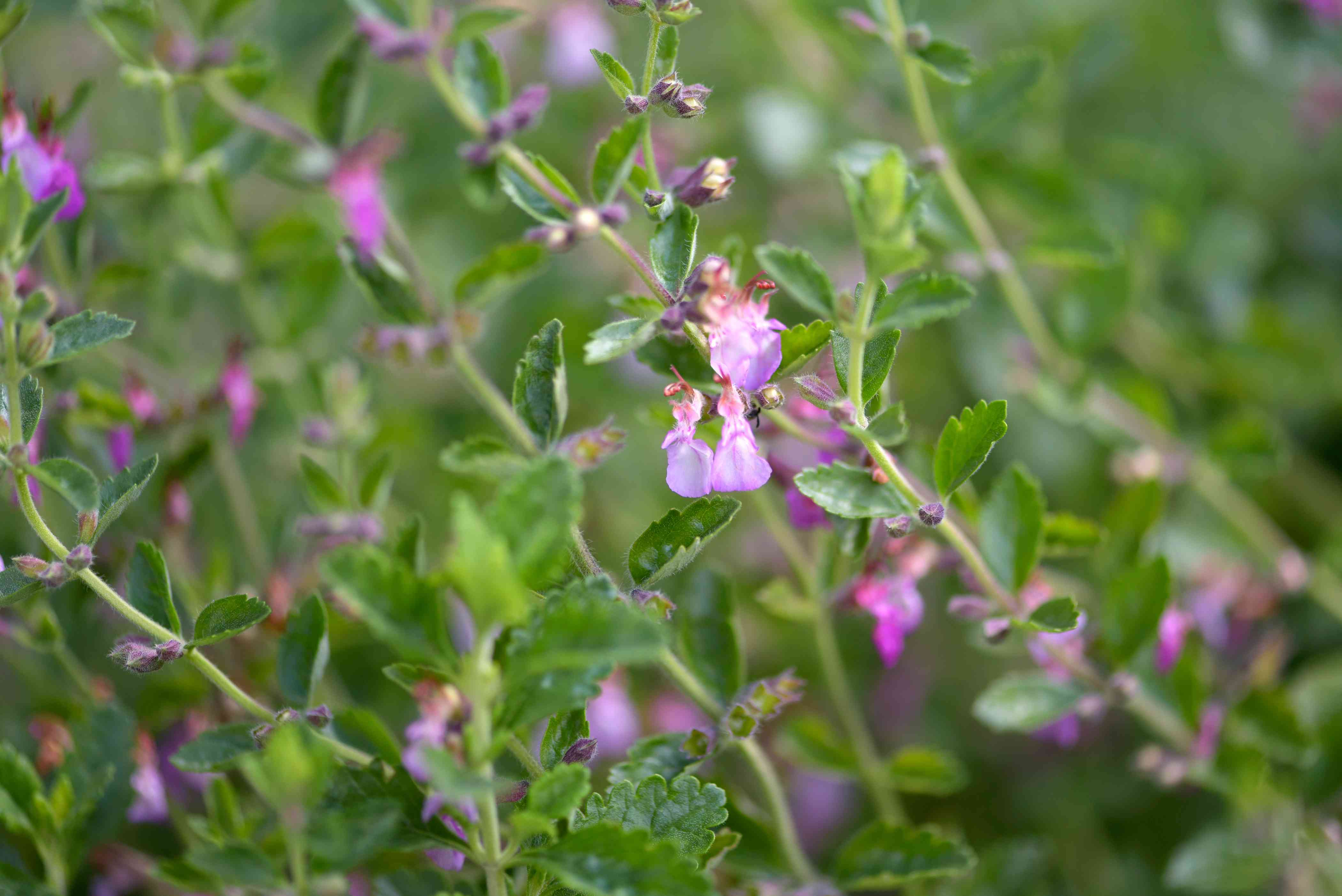 Wall germander plant stem with tiny light purple flower and buds closeup