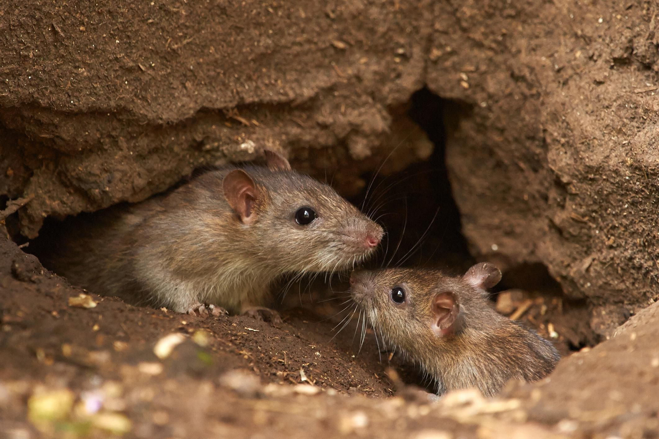 Important Facts About Mice And Rats
