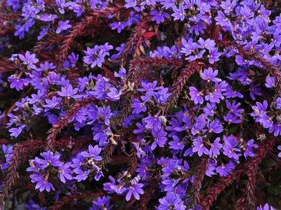 Scaevola plant with dark red bract stems and bright purple flowers