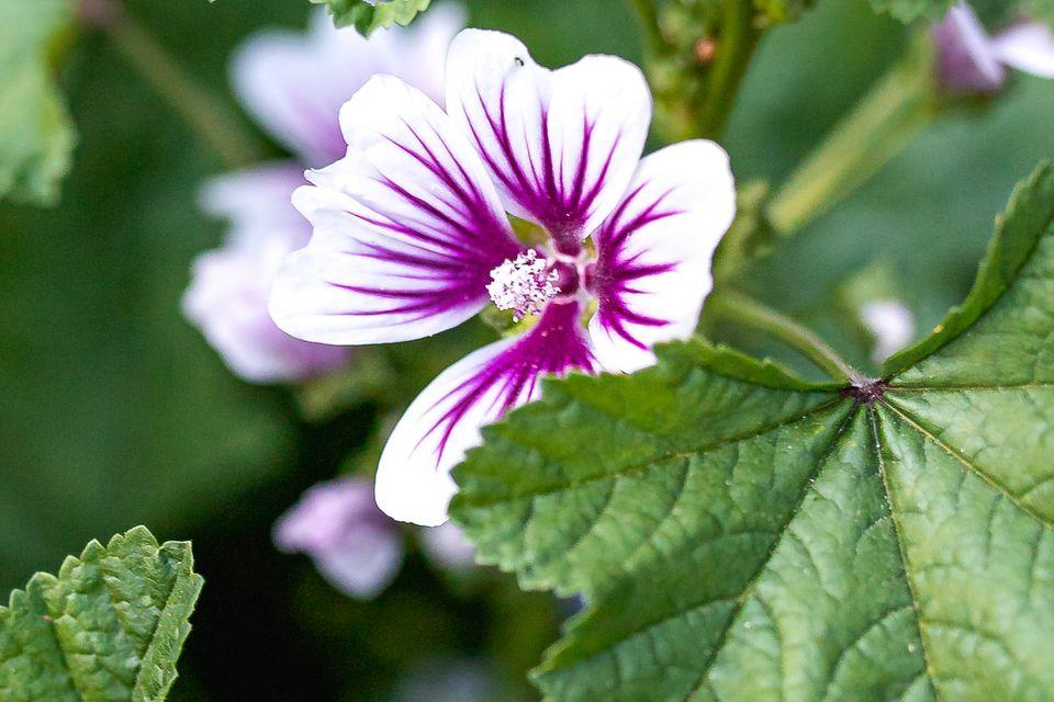 hardy geranium closeup