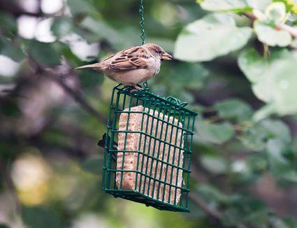 bird at a suet feeder