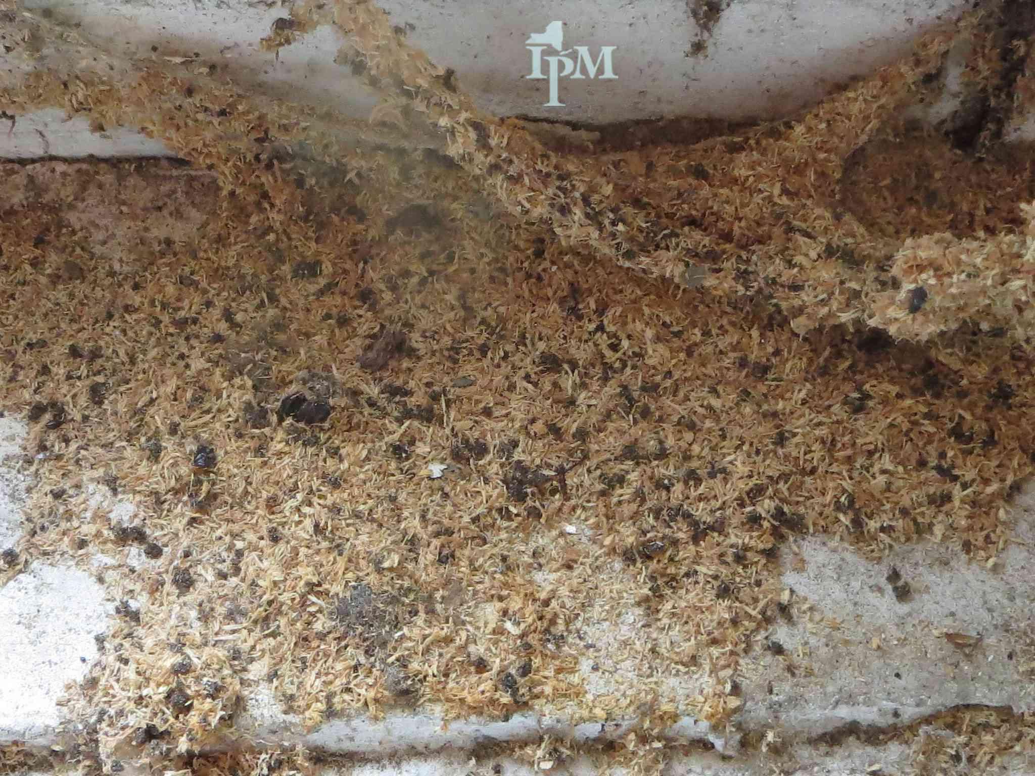 Carpenter Ant frass