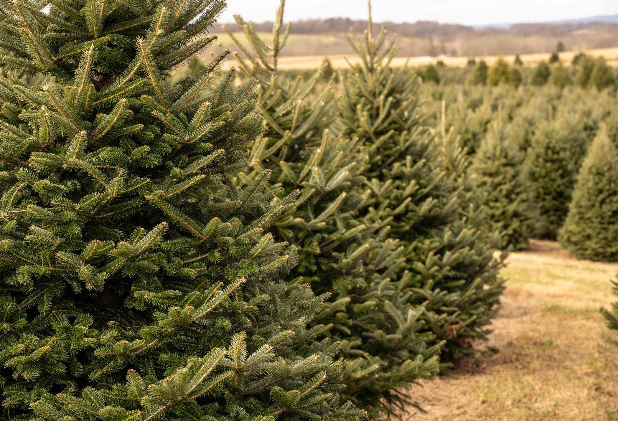 Rows of Christmas trees on tree farm