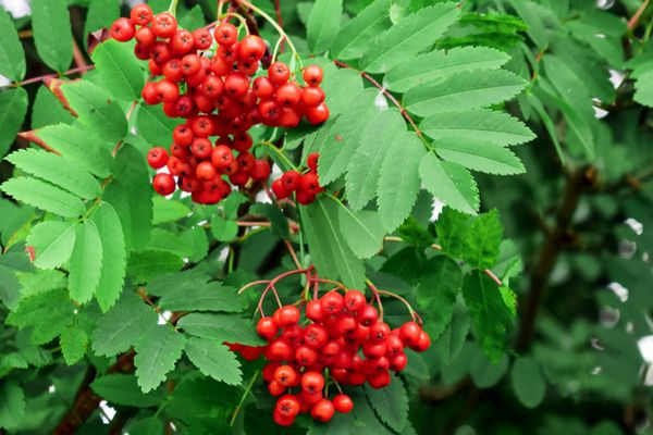 European mountain ash tree branch with pinnate leaves and red-orange pome fruits hanging in front