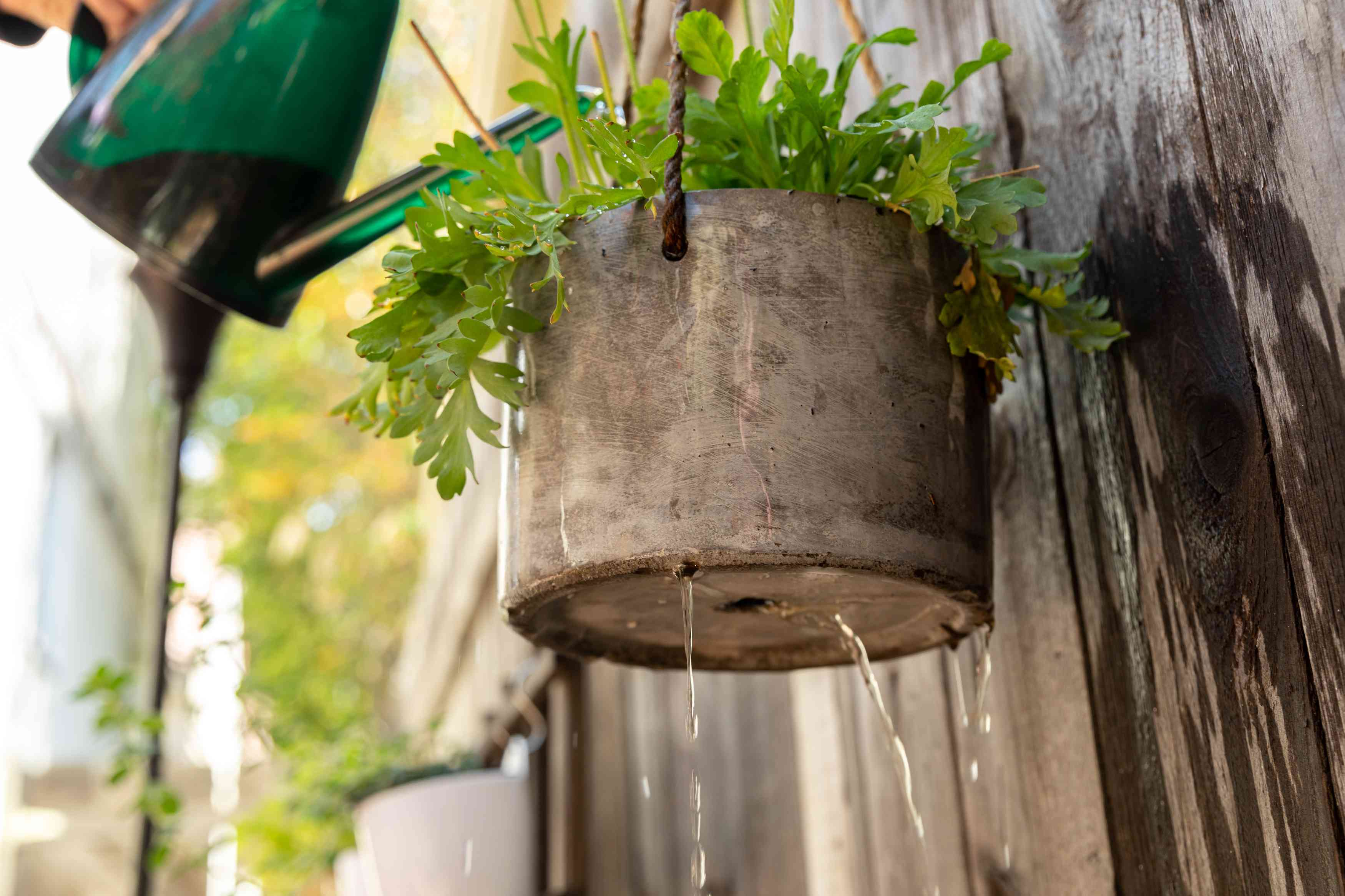 Plant in gray clay pot hanging on wooden wall with water dripping from bottom of pot