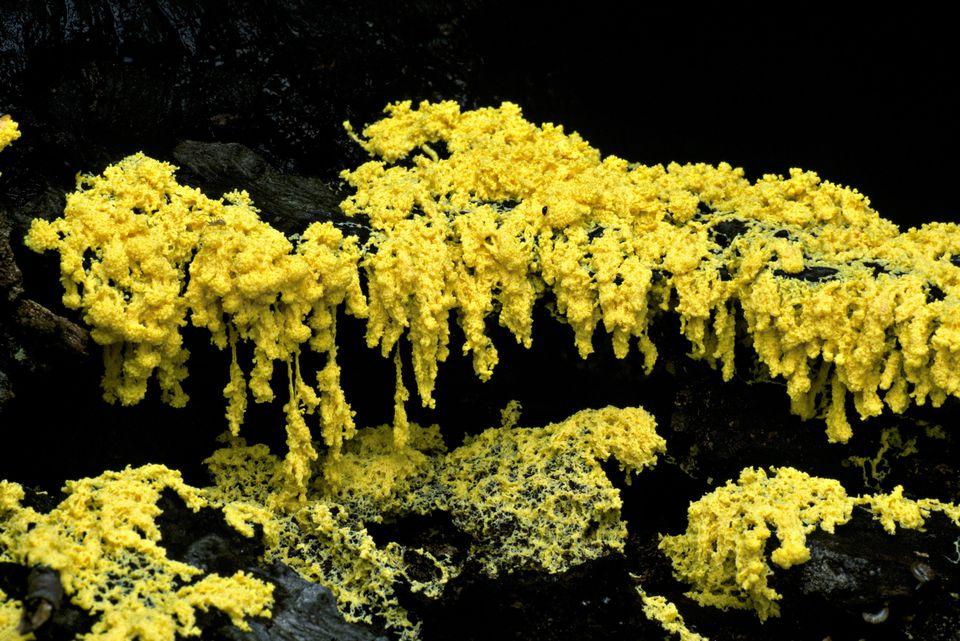 Scrambled-Egg Slime Mold. Fuligo septica (AKA Dog vomit slime mold). Phameroplasmodium on wood. Ohio, Delaware County. USA