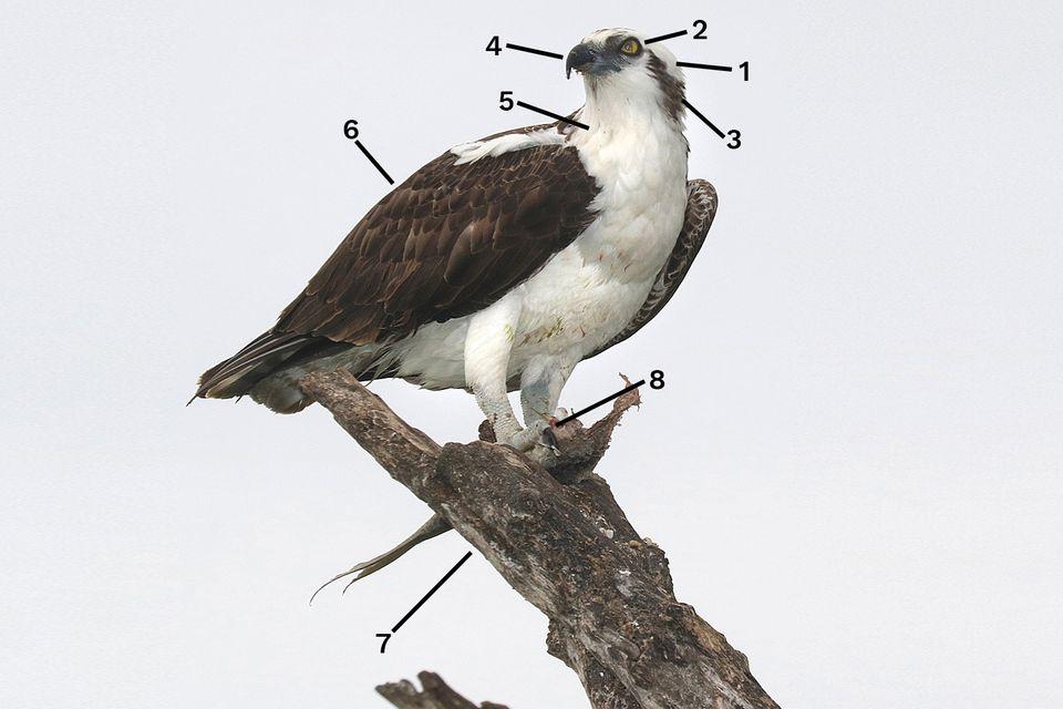 Osprey ID