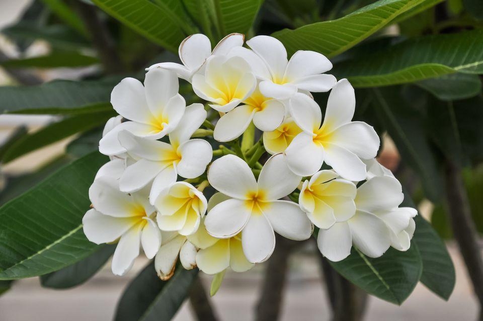 White frangipani (Plumeria alba) plant in bloom
