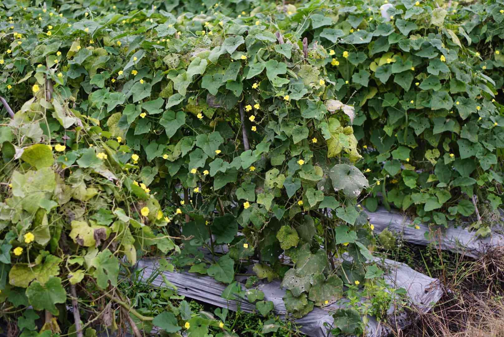 Vines hanging on metal trellis with small flowers placed in vegetable garden
