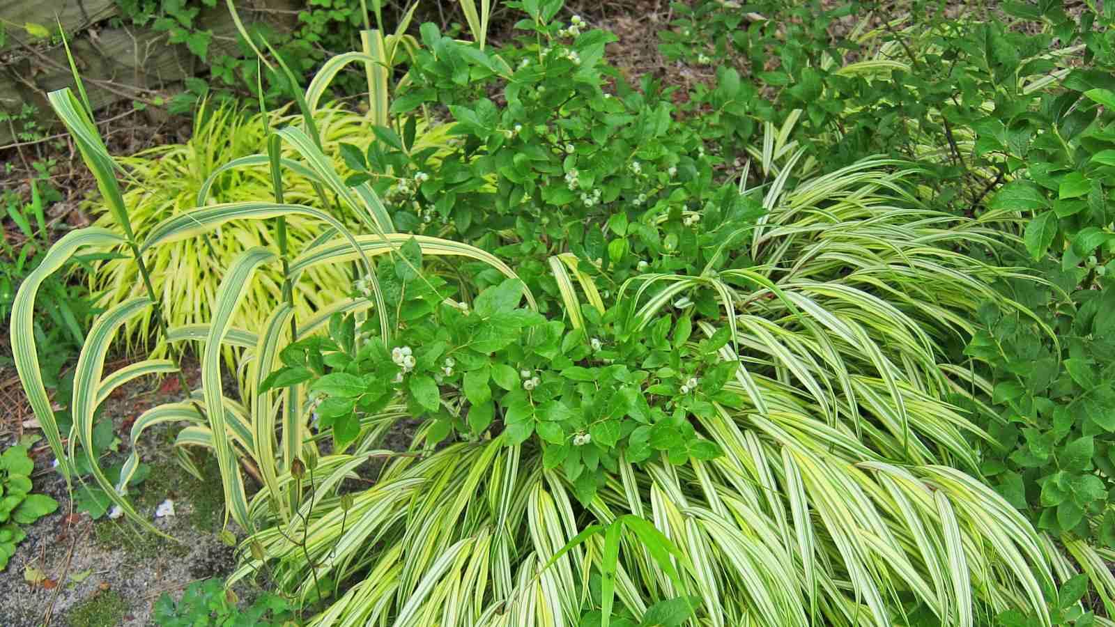 Hierba del bosque japonés dorado (Hakonechloa macra 'Aureola')