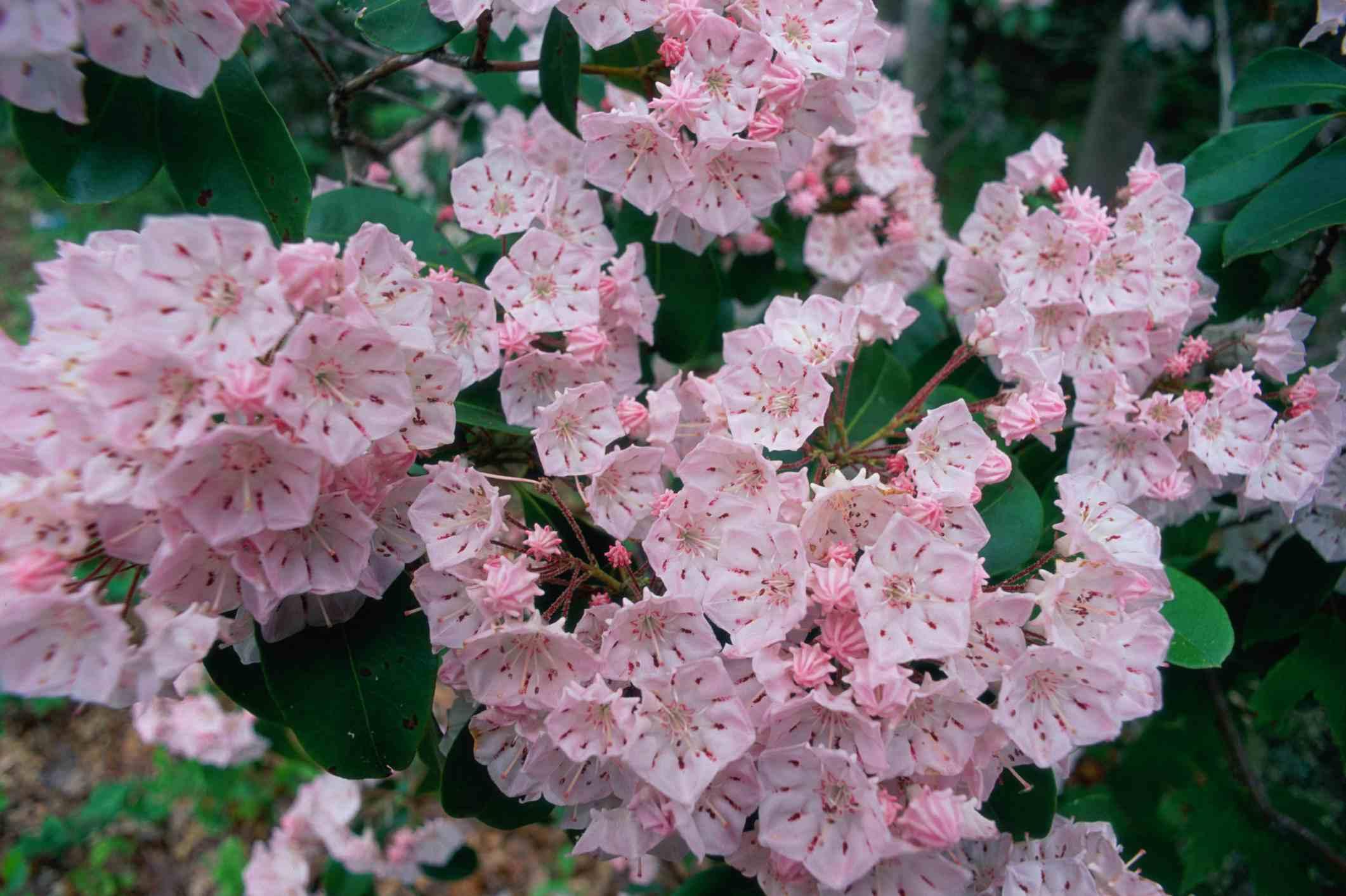 Mountain laurel blooming in light pink.