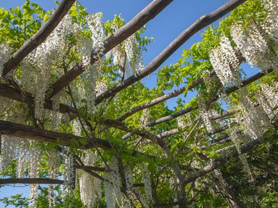 Wisteria vines with white flowers hanging over pergola