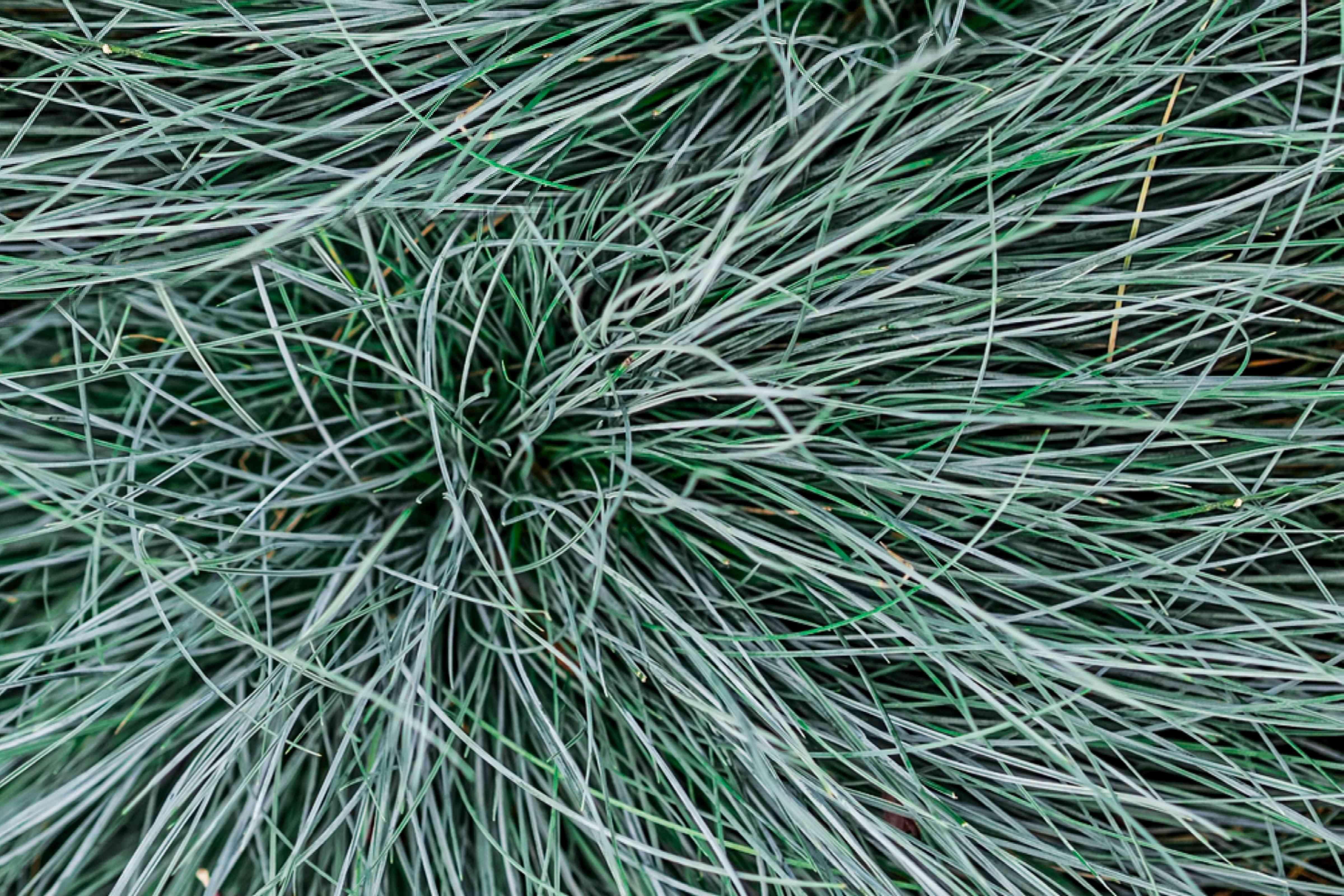 tufted fescue grass