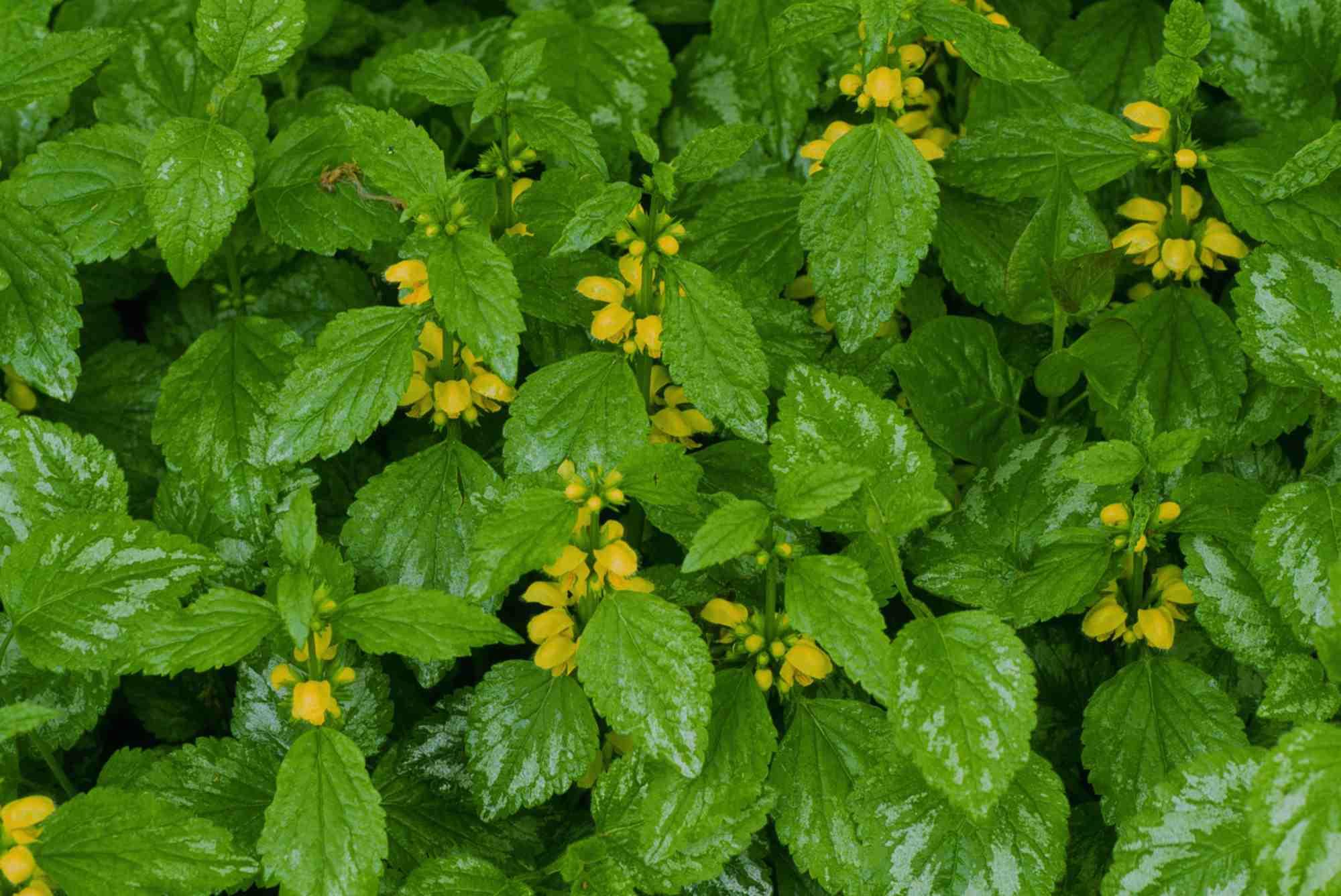 Lamiastrum galeobdolon var. variegata (Yellow archangel)