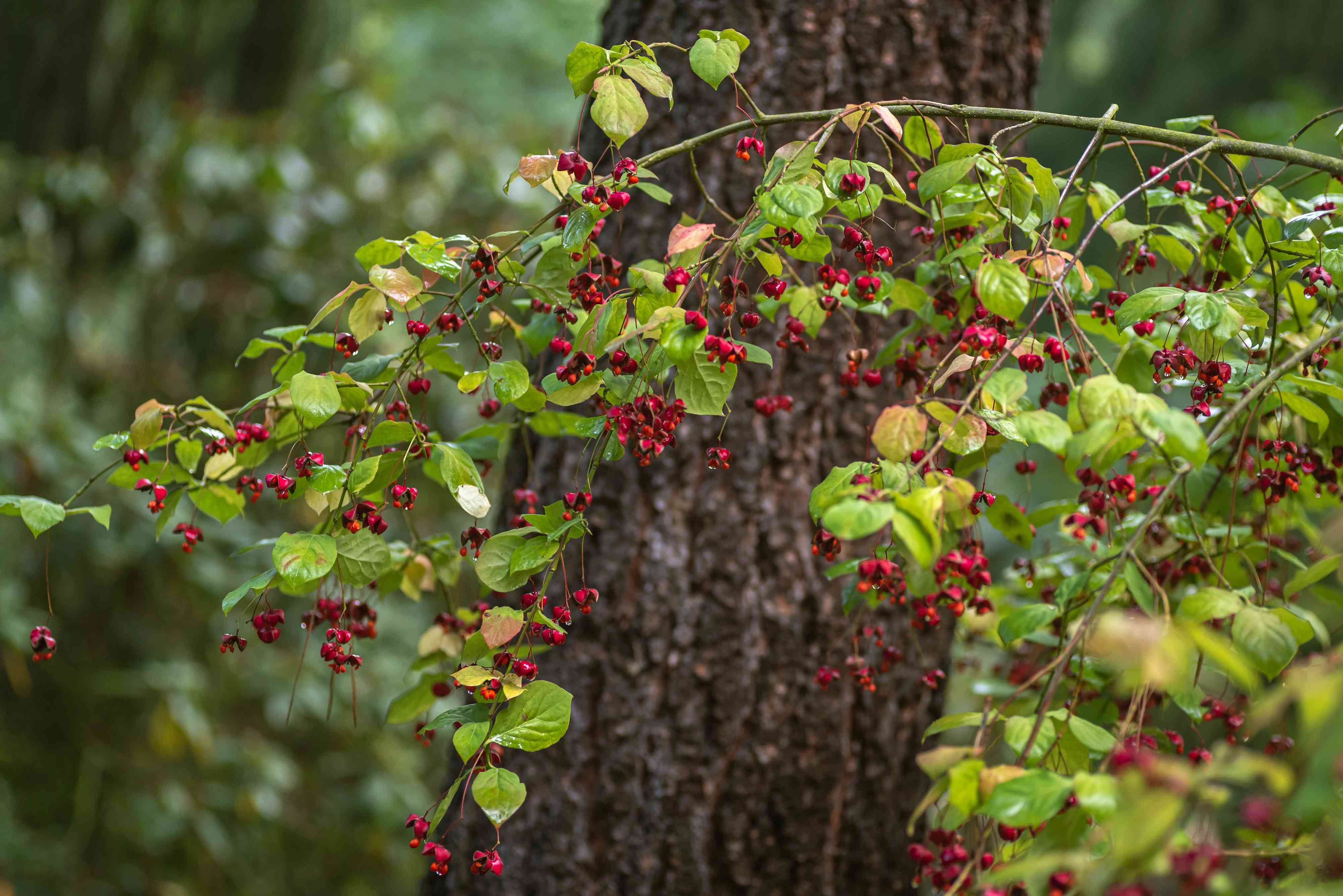 European spindle tree branch with fuchsia colored berries in front of tree trunk