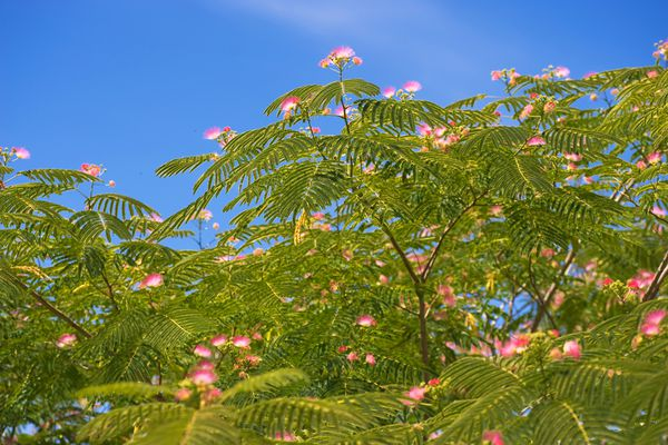 Persian silk tree with pink flowers and fern-like leaves