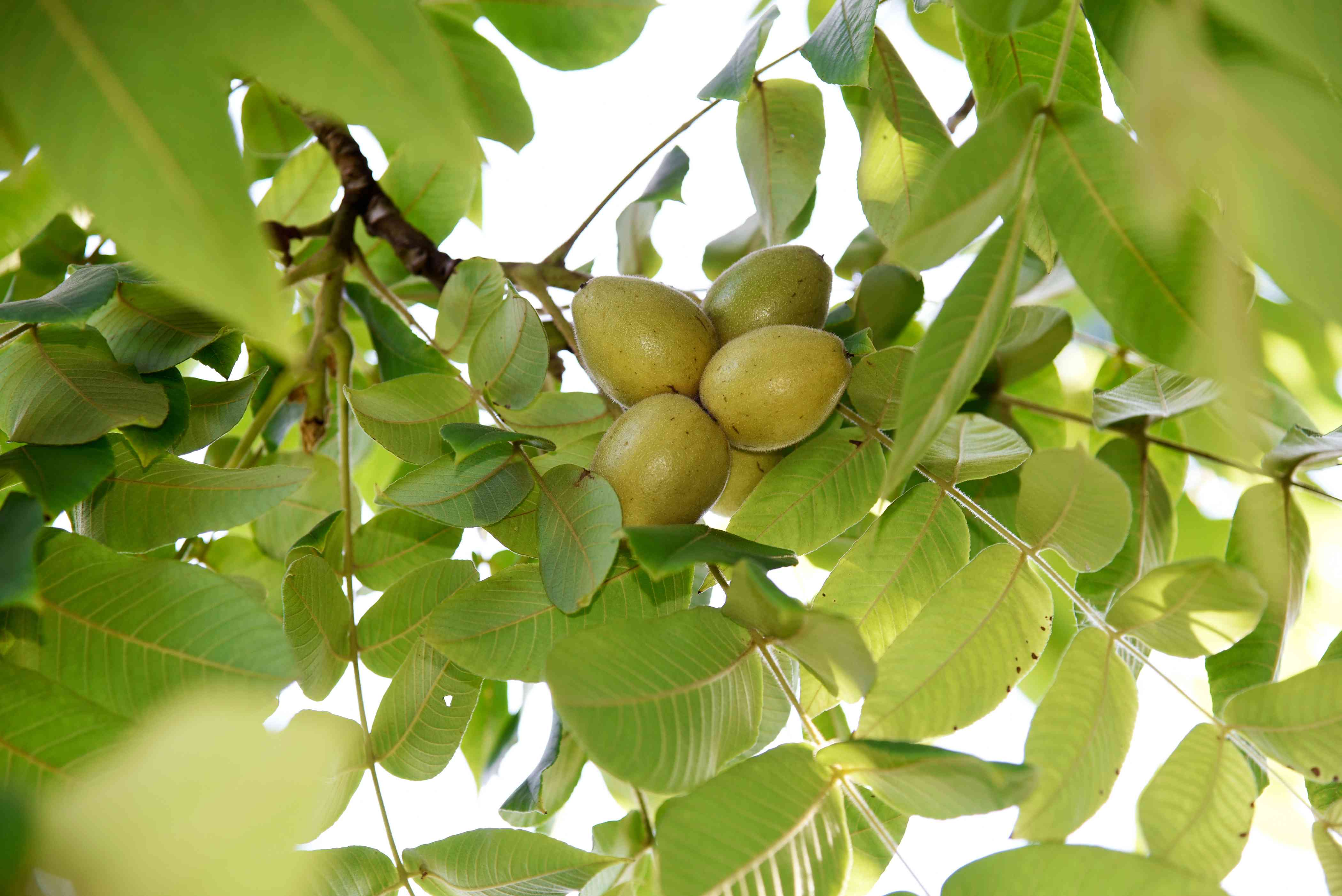 Butternut tree branches with yellowish-green nuts