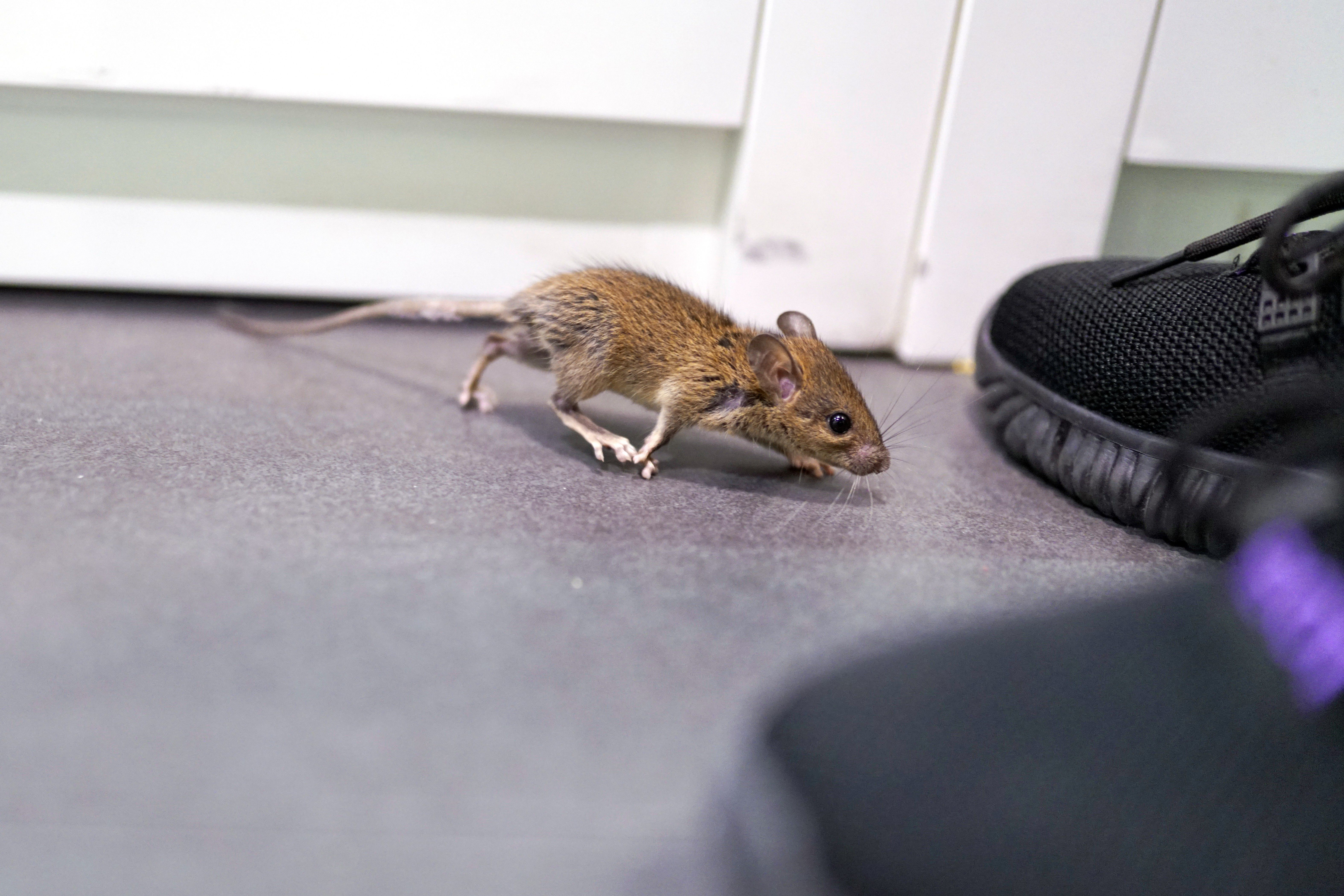 How To Get Rid Of A Possum In Your Garage how to get rid of mice in the garage