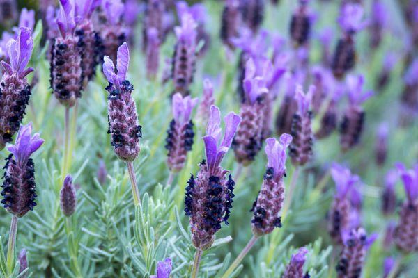 Spanish lavender (Lavendula stoechas) in bloom