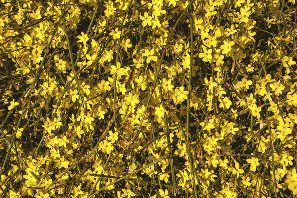 Winter jasmine vines with yellow flowers in sunlight
