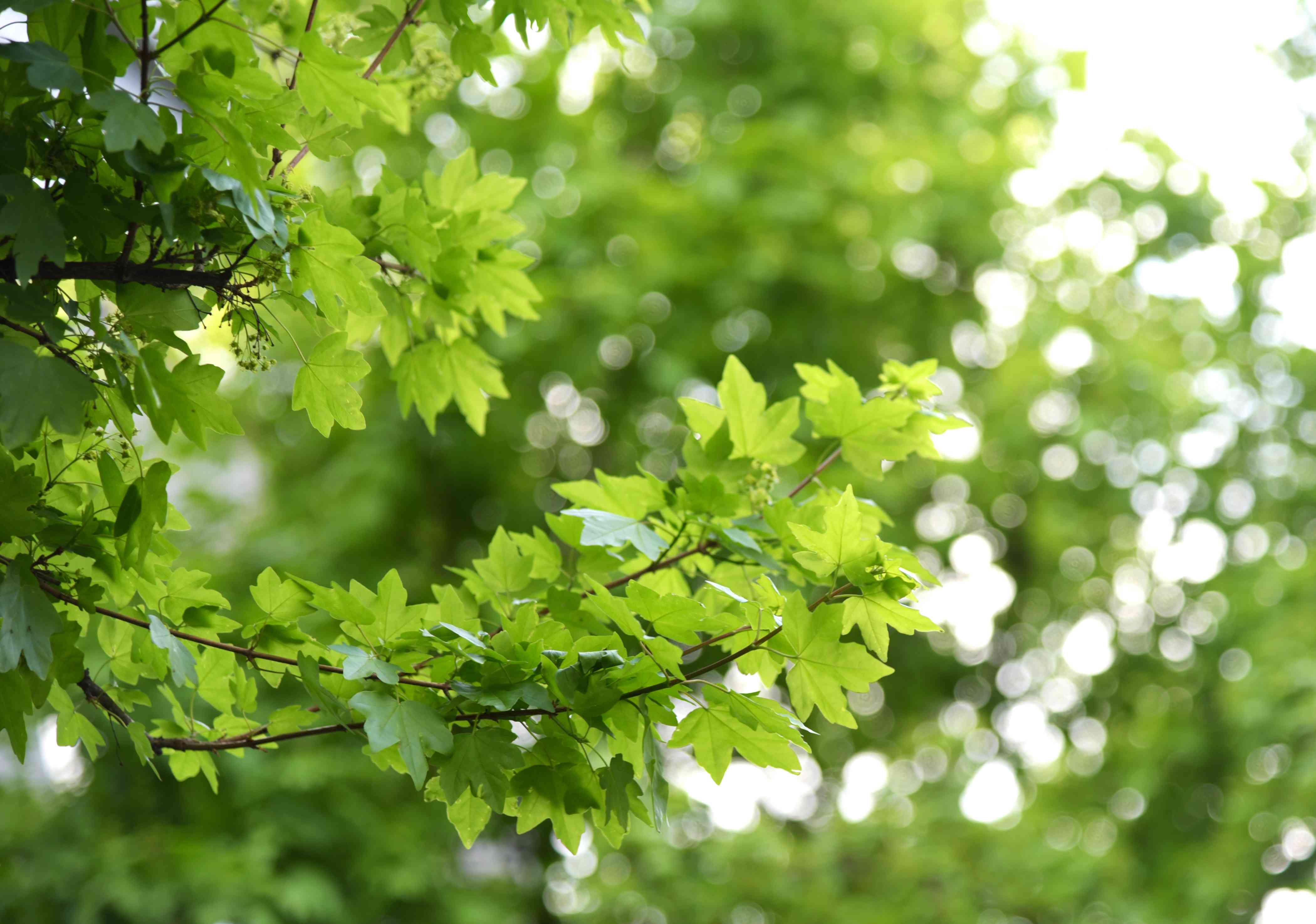 Hedge maple tree branches with bright green leaves closeup