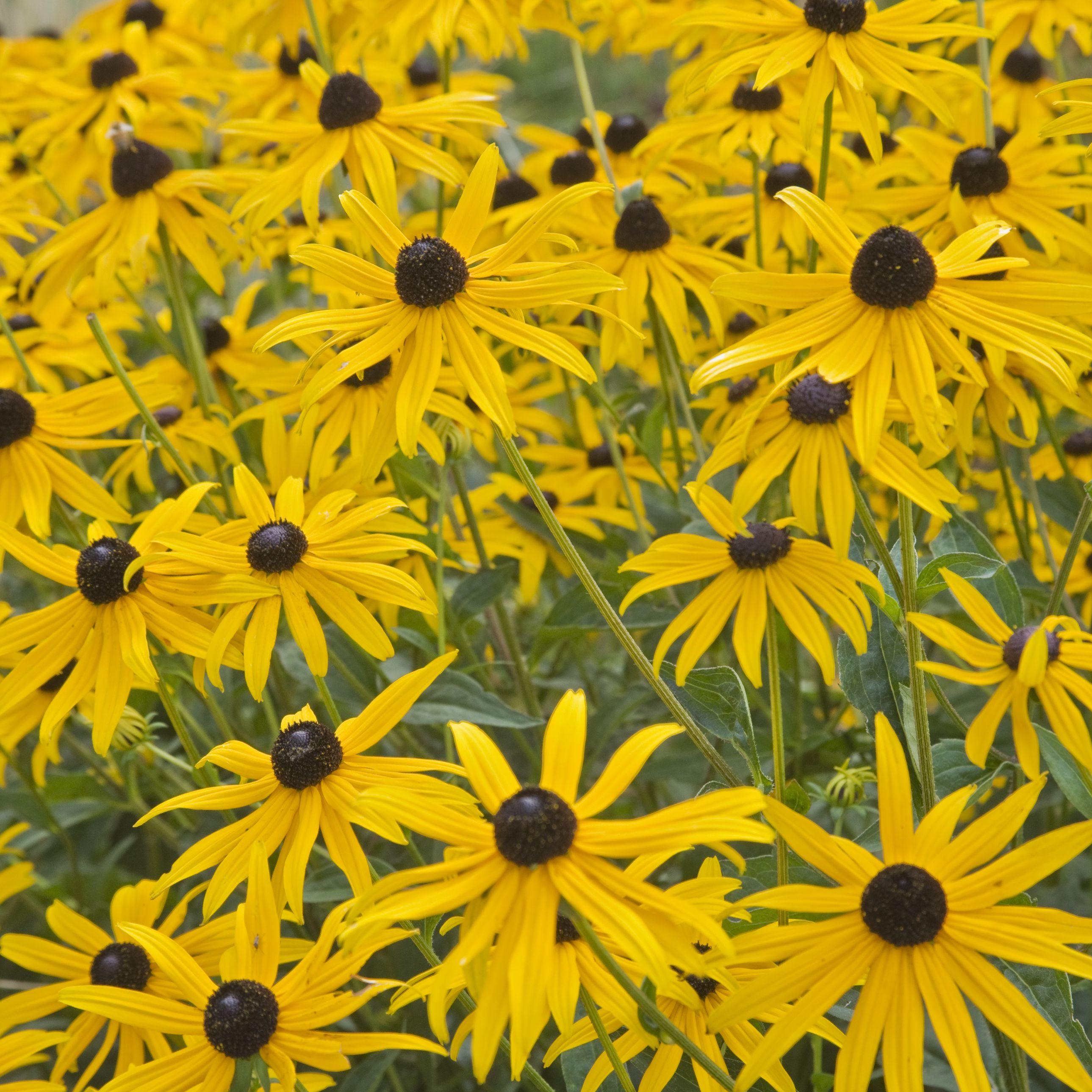 Longest Lived Perennial Flowers
