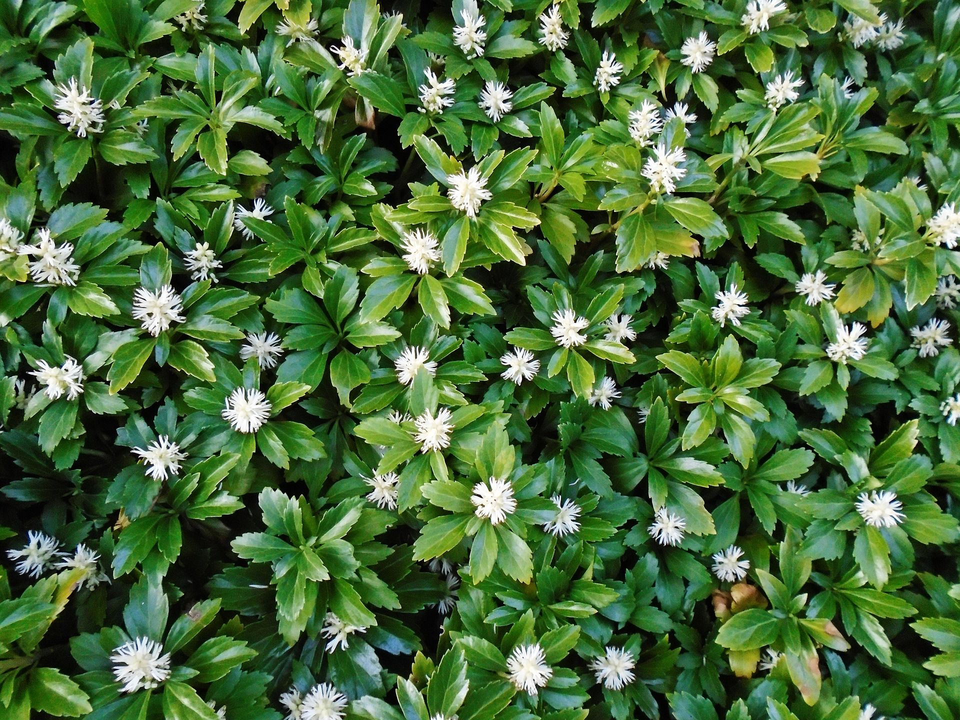 Pachysandra Ground Cover In Bloom