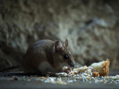 8 Important Prep Steps for Rodent Control Service - How To Get Rid Of Rats: The 2 Best Ways