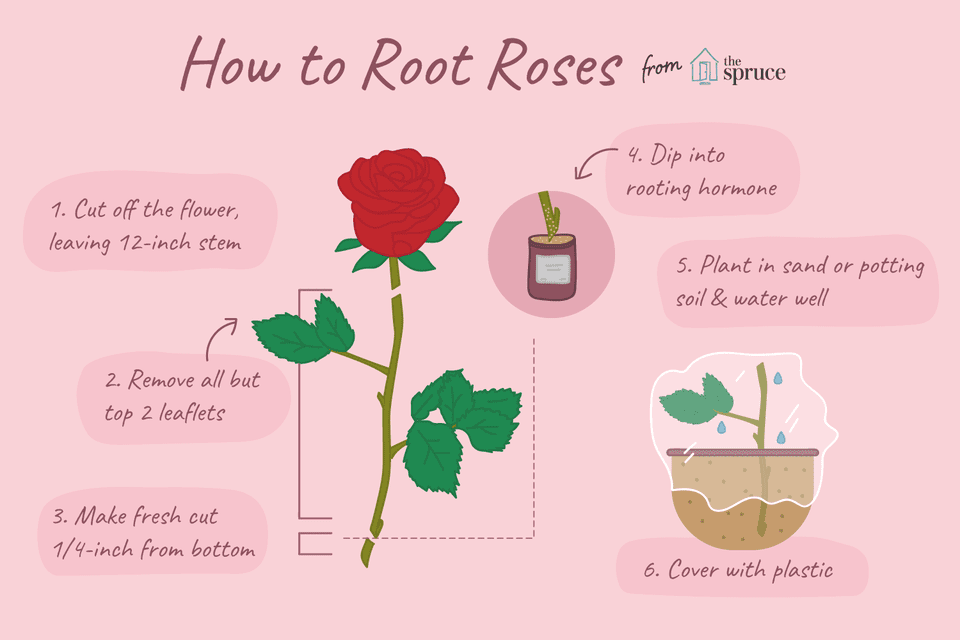 How to root roses illustration
